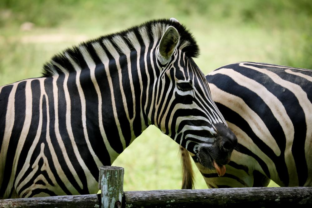 2015.8.16-zoo-negara-dad-lores-49